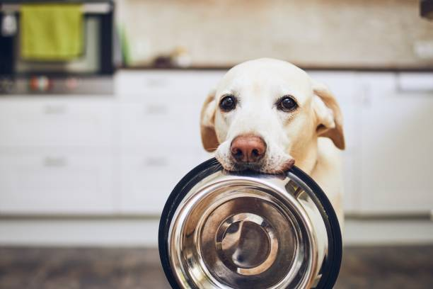 Dog waiting for feeding Hungry dog with sad eyes is waiting for feeding in home kitchen. Adorable yellow labrador retriever is holding dog bowl in his mouth. hungry stock pictures, royalty-free photos & images