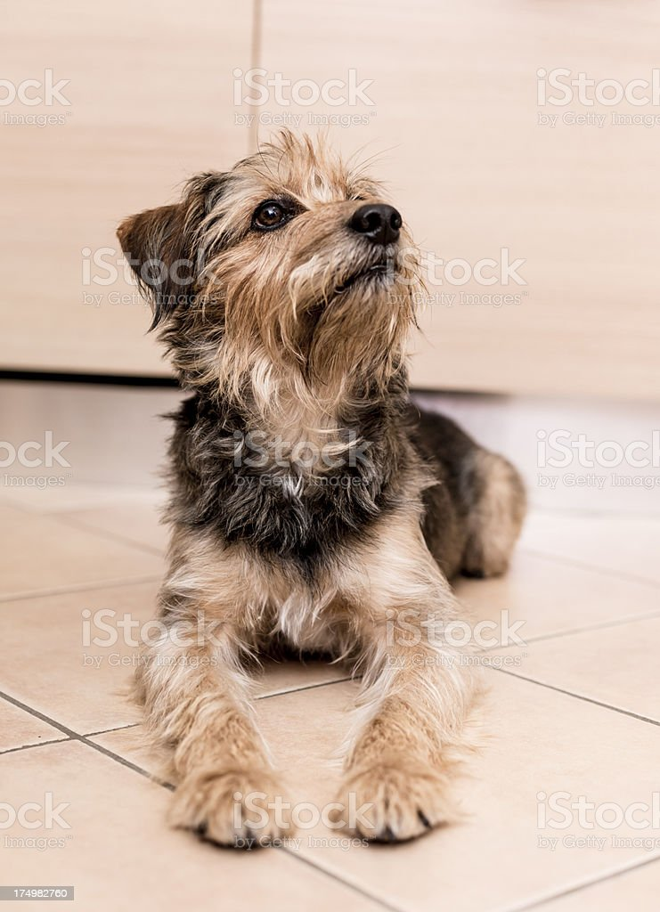 Dog waiting for food royalty-free stock photo