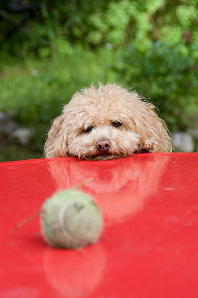 Dog waiting for his ball stock photo