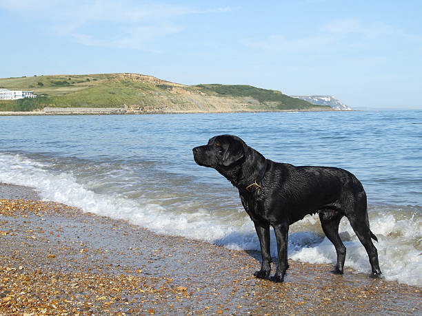 dog waiting for owner at a pebble beach - belkindesign stock pictures, royalty-free photos & images