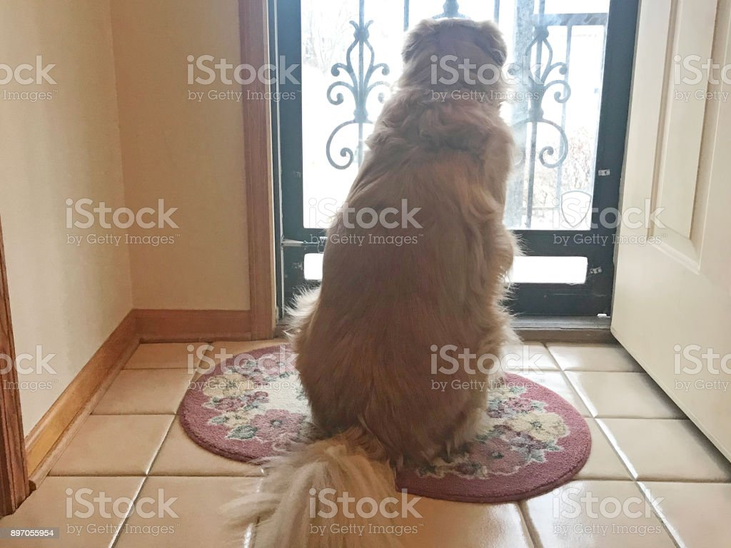 Dog waiting for owner to come home stock photo