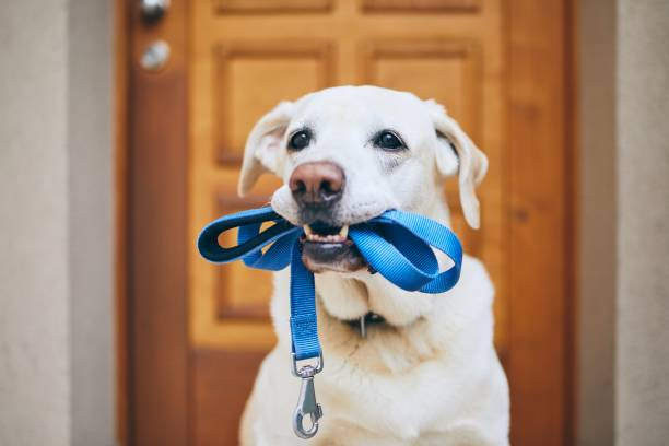 Dog waiting for walk Dog waiting for walk. Labrador retriever standing with leash in mouth against door of house. animal mouth stock pictures, royalty-free photos & images