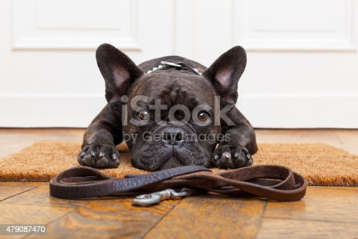 istock dog waiting for walk 479087470