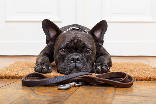 dog waiting for walk french bulldog dog waiting and begging to go for a walk with owner , sitting or lying on doormat french bulldog stock pictures, royalty-free photos & images