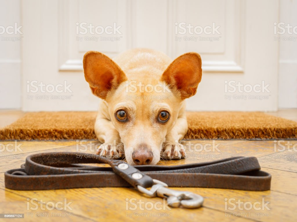 dog waits at door for a walk stock photo