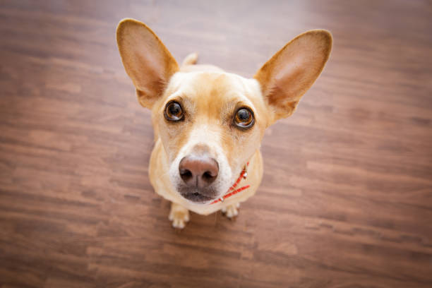 dog    waits for owner chihuahua dog waiting and looking up for owner to play  and go for a walk   , isolated on floor background pleading stock pictures, royalty-free photos & images