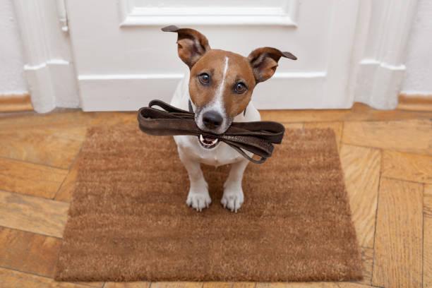 Dog waits for walking with leash picture id656656144?b=1&k=6&m=656656144&s=612x612&w=0&h=h0vsrgjc7p zzhubqhwdysshmcxktgqhvplxp vhzyw=