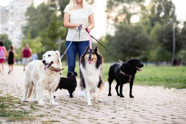 Passeador De Cães Banco de Imagens e Fotos de Stock - iStock