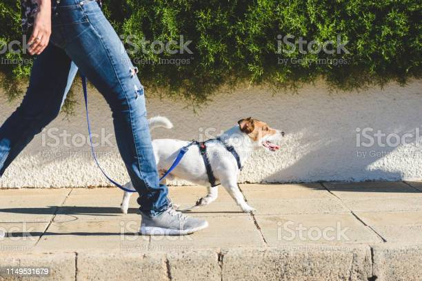 Dog walker strides with his pet on leash while walking at street picture id1149531679?b=1&k=6&m=1149531679&s=612x612&h=ivv1c1 t kkxt4u1ehxuudhqdys lj8xmuxwzuw1wbw=