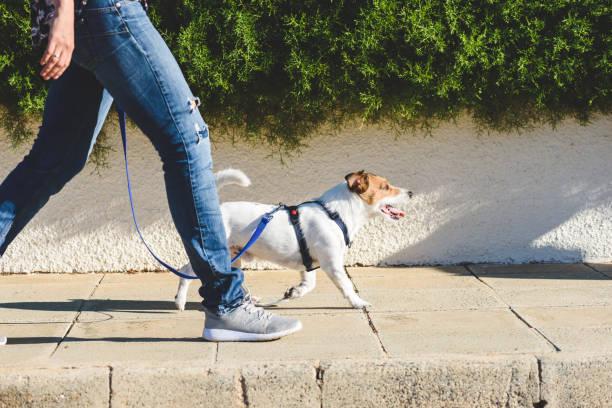 pies walker kroczy ze swoim zwierzakiem na smyczy podczas spaceru na chodniku ulicy - wędrować zdjęcia i obrazy z banku zdjęć