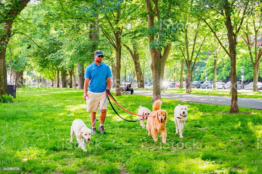 Dog Walker Walks Dogs at Back Bay Area Boston Massachusetts stock photo