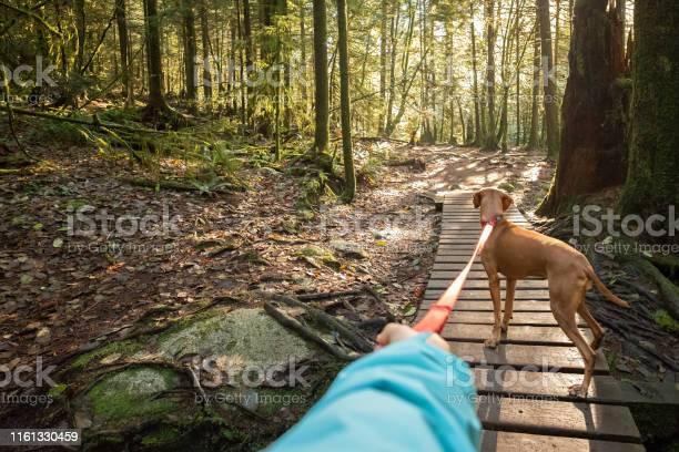 Dog walkers holding leashed vizsla dog in sunlit forest picture id1161330459?b=1&k=6&m=1161330459&s=612x612&h=mjmc4pjcpdopdqvoj o8hjnlkixl9u4qcsdik48joha=