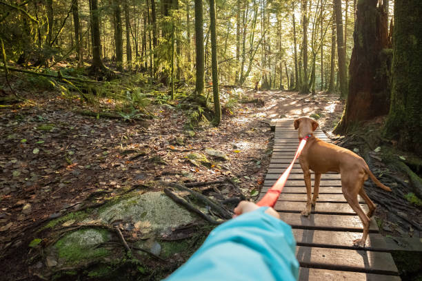 Dog Walker's POV, Holding Leashed Vizsla Dog in Sunlit Forest Personal perspective of pet Vizsla dog on leash in Seymour Demonstration Forest, North Vancouver, British Columbia, Canada personal perspective stock pictures, royalty-free photos & images