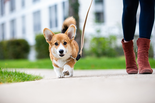 dog training: corgi puppy on a leash from a woman