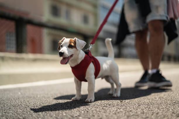 Dog walking in the city picture id1027876184?b=1&k=6&m=1027876184&s=612x612&w=0&h=ncba4mv7janpzx1ahm5xq sgpntpc3osm8vti hbnya=