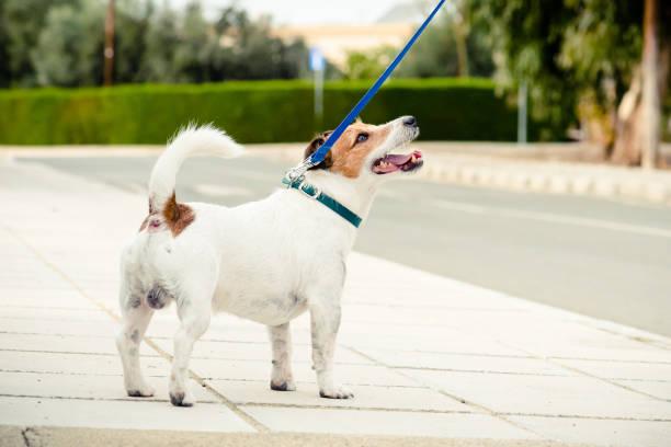 Hond wandelen aangelijnd op straat van kleine stad in Zuid-Europa foto