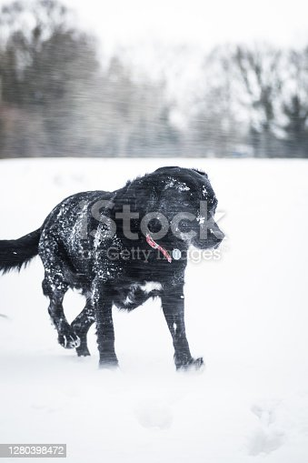 A dog in a snowy environment. Snowflakes are falling around and the snow is deep.