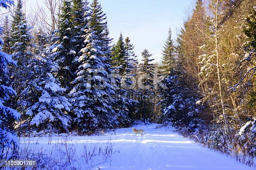 Panoramic view on a forest path. A dog, labrador retriever, stands in the middle of the snow path. Tall trees with snowy branches surround him. Sunny winter day