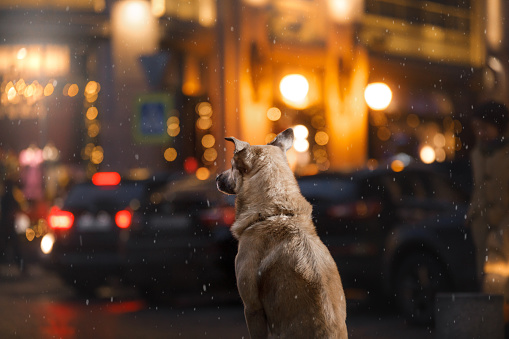 Dog walks in the city