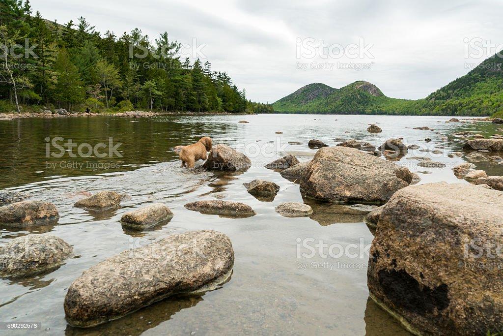 Dog walks out into forest pond royaltyfri bildbanksbilder