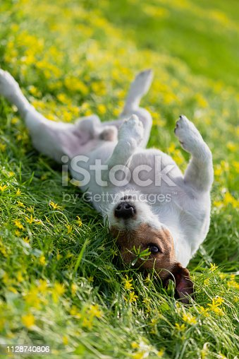Jack Russell Terrier lying down on his back