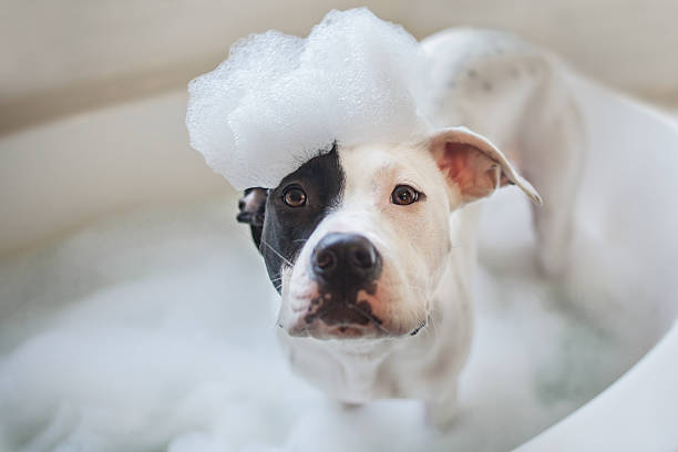 Dog wash, puppy gets a bath A black and white dog gets a bubble bath. Dog wash. Bubble bath for a dog bubble bath stock pictures, royalty-free photos & images