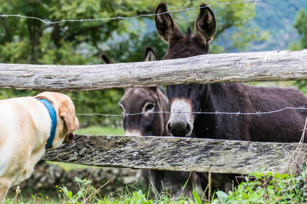 A dog watches two donkeys