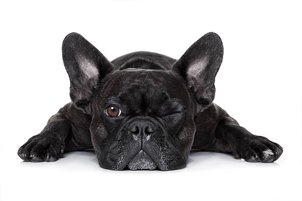 dog watching at you french bulldog dog exhausted or tired ,watching and staring at you like a control freak, isolated on white background french bulldog stock pictures, royalty-free photos & images