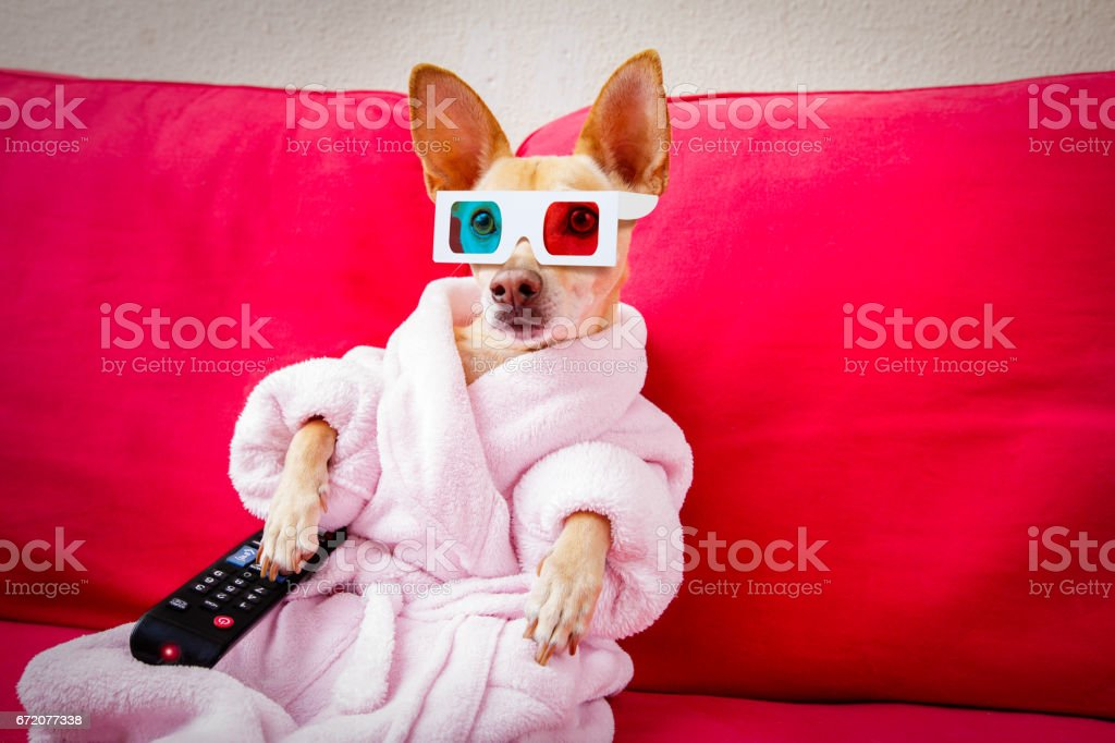 dog watching tv on the couch stock photo