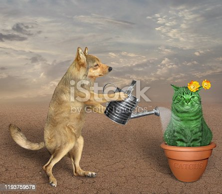 The beige dog gardener is watering the cat cactus in a clay pot in the desert.