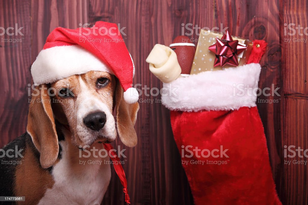 A dog wearing a Christmas hat next to his Christmas stocking stock photo
