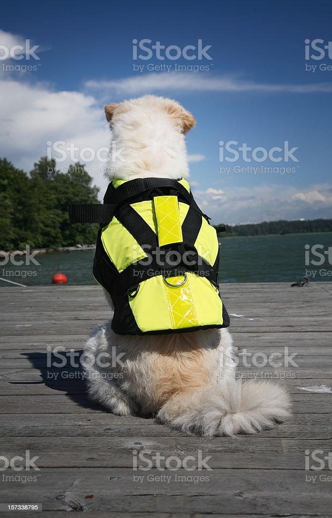 Dog wearing a life jacket royalty-free stock photo