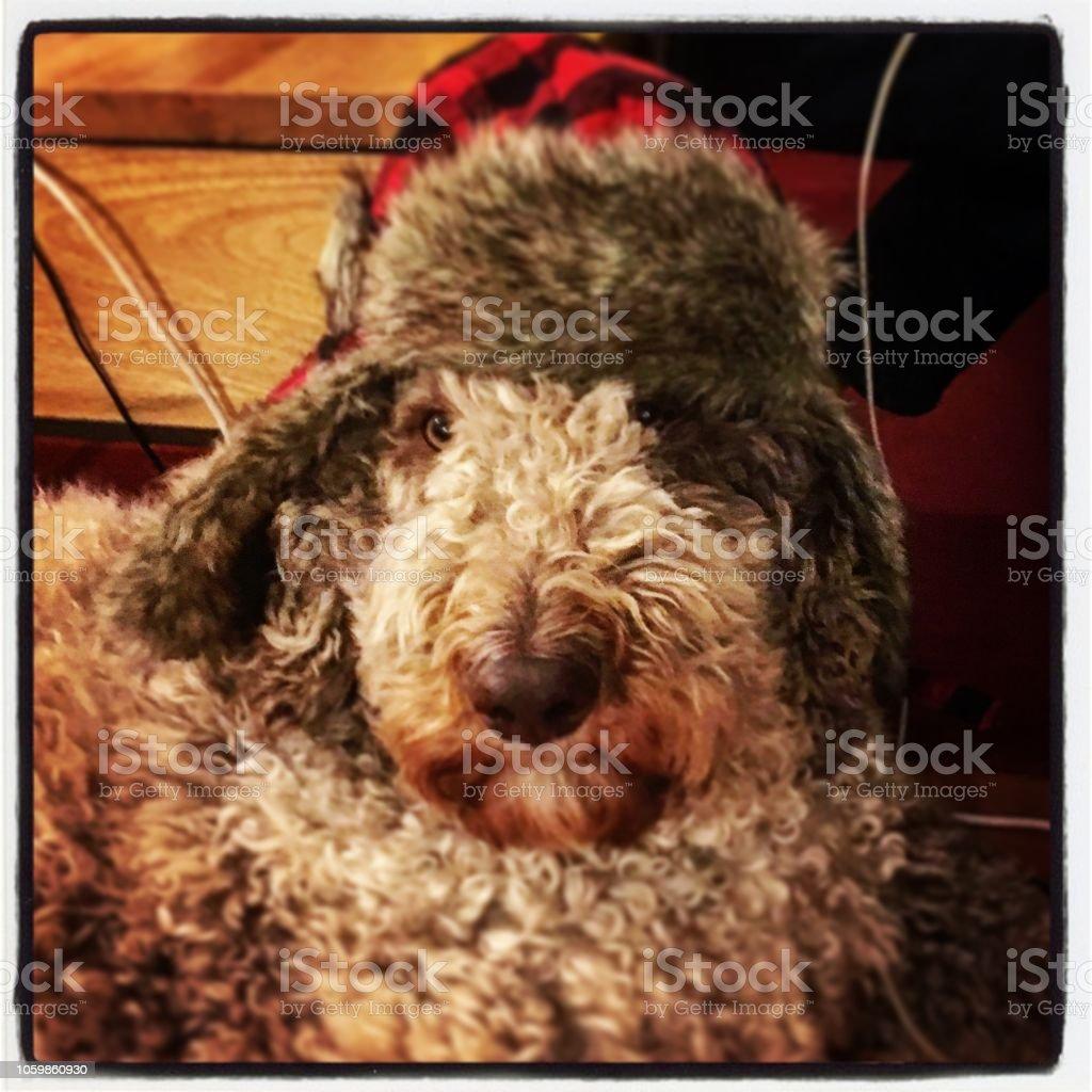 Chien coiffé d'un chapeau de bûcheron - Photo