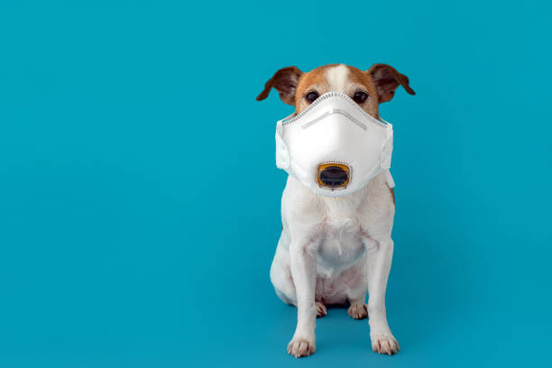 dog wearing a medical face mask to protect herself from infection stock photo