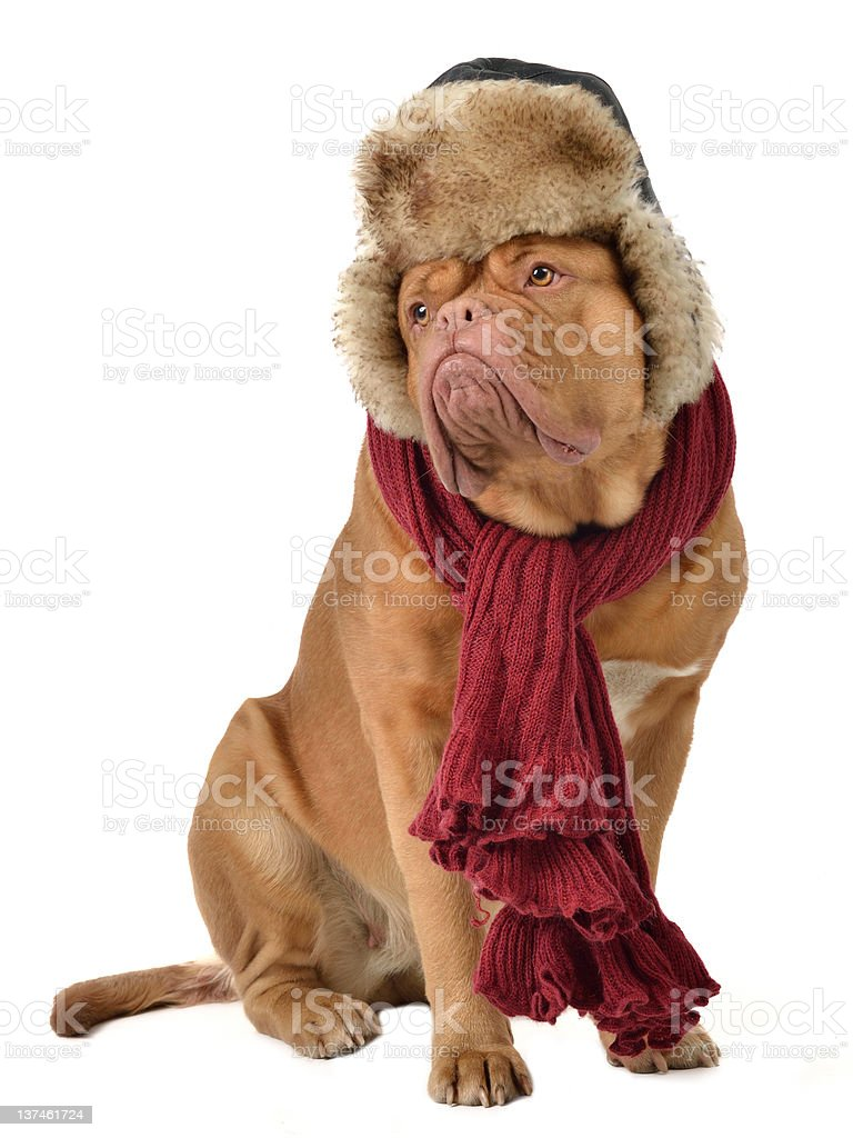 Dog wearing a red scarf and a fur cap covering ears stock photo