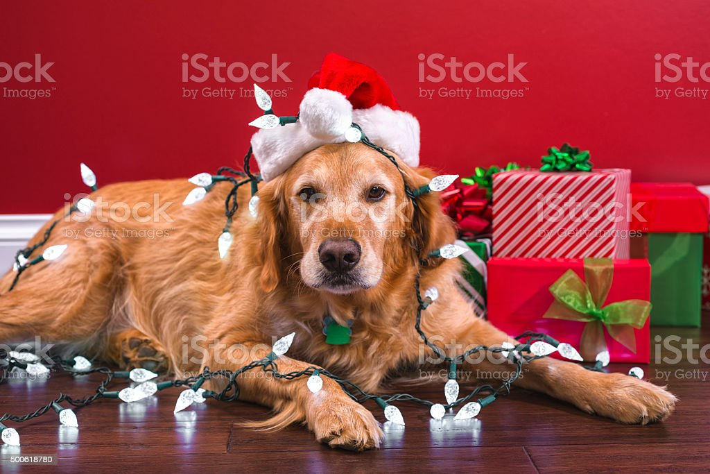 dog wearing a santa hat covered with christmas lights royalty free stock photo
