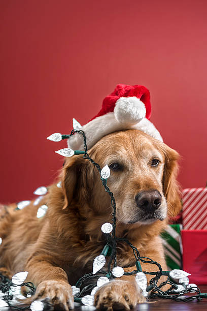 dog wearing a santa hat covered with christmas lights stock photo - Dog Christmas Lights