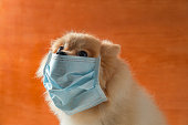 istock Dog wearing air pollution mask for protect dust PM2.5,Pomeranian, small breed dogs, put on a health mask 1201353118