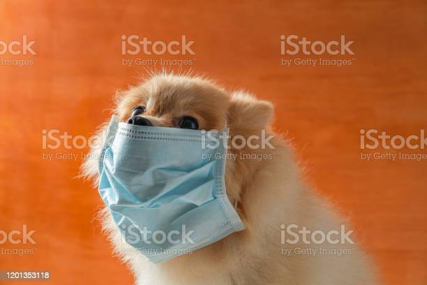 Dog wearing air pollution mask for protect dust pm25pomeranian small picture id1201353118?b=1&k=6&m=1201353118&s=612x612&h=fwiykeawwfrupc weacwyuljayck0cenb2pdzajei1u=