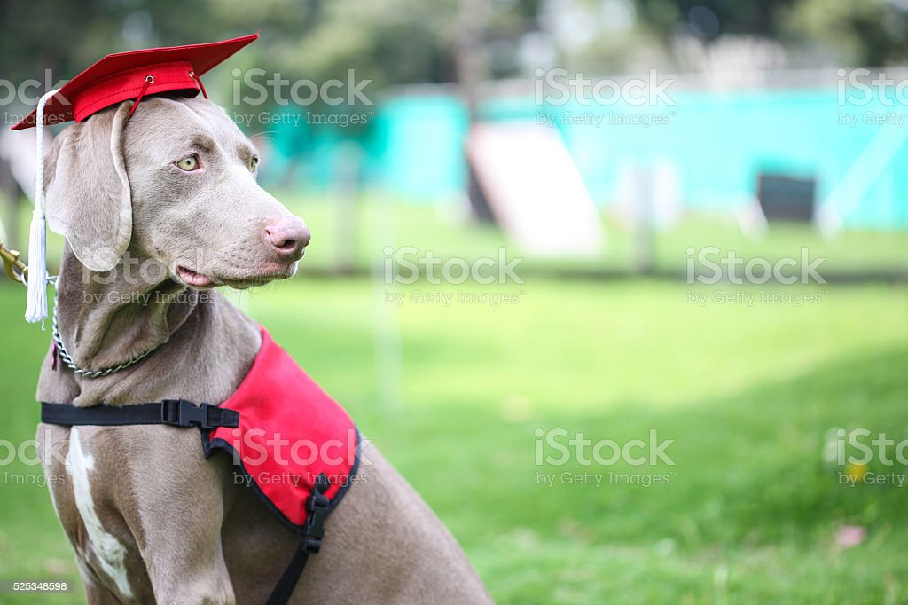 Fantastic Graduation Cap Black Adorable Dog - dog-wearing-an-academic-cap-during-canine-graduation-picture-id525348598?k\u003d6\u0026m\u003d525348598\u0026s\u003d612x612\u0026w\u003d0\u0026h\u003dfhsRxtdncY4kGcTLyvlU8eh82WmMTh_R9pLeJW_Lesg\u003d  Best Photo Reference_671084  .com/photos/dog-wearing-an-academic-cap-during-canine-graduation-picture-id525348598?k\u003d6\u0026m\u003d525348598\u0026s\u003d612x612\u0026w\u003d0\u0026h\u003dfhsRxtdncY4kGcTLyvlU8eh82WmMTh_R9pLeJW_Lesg\u003d