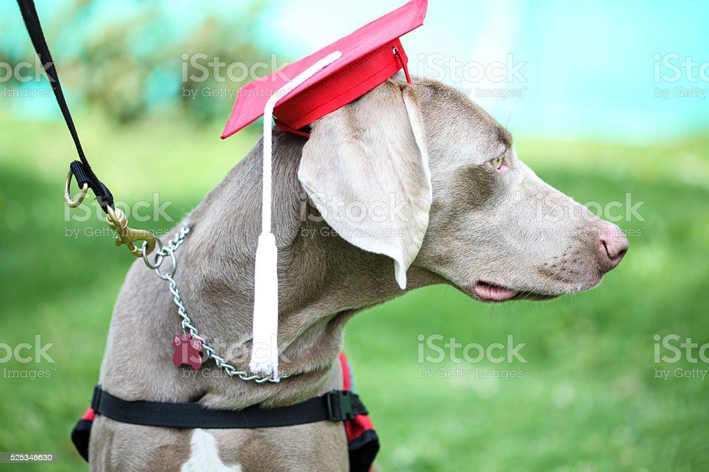Fantastic Graduation Cap Black Adorable Dog - dog-wearing-an-academic-cap-during-canine-graduation-picture-id525348630?k\u003d6\u0026m\u003d525348630\u0026s\u003d612x612\u0026w\u003d0\u0026h\u003dTKciZR45r4ECJBcl0IPKjBvC26U3iHmWZpbhc5LMTvY\u003d  Best Photo Reference_671084  .com/photos/dog-wearing-an-academic-cap-during-canine-graduation-picture-id525348630?k\u003d6\u0026m\u003d525348630\u0026s\u003d612x612\u0026w\u003d0\u0026h\u003dTKciZR45r4ECJBcl0IPKjBvC26U3iHmWZpbhc5LMTvY\u003d