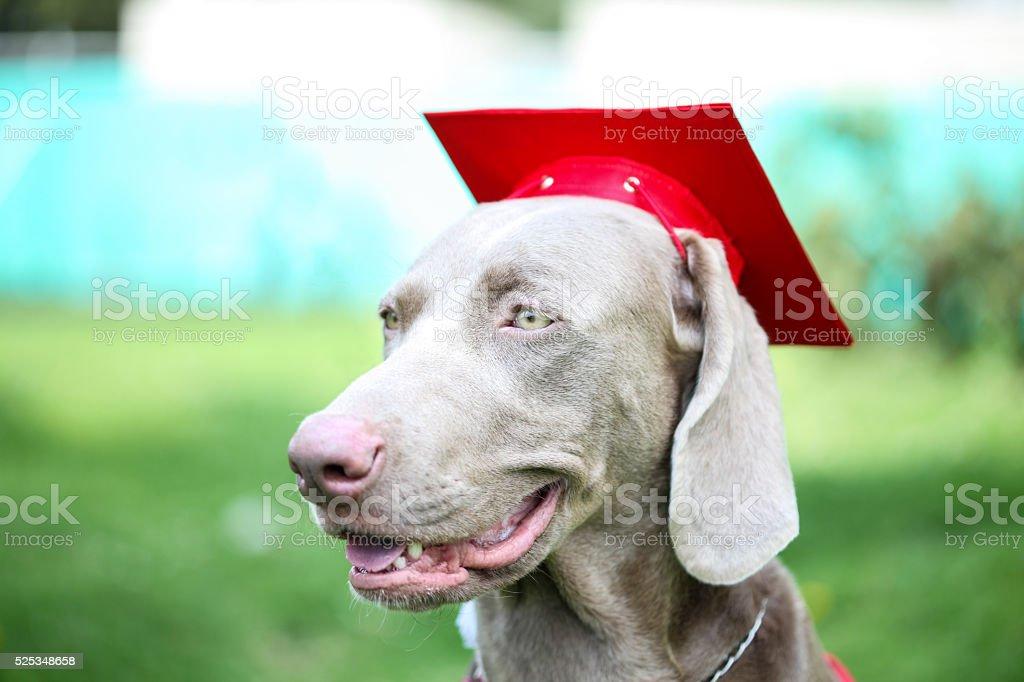 Fantastic Graduation Cap Black Adorable Dog - dog-wearing-an-academic-cap-during-canine-graduation-picture-id525348658?k\u003d6\u0026m\u003d525348658\u0026s\u003d612x612\u0026w\u003d0\u0026h\u003dJUCwsLUyB4uYiM4u8-XTVVhaKmDnHO1MIaPAcIA6jI8\u003d  Best Photo Reference_671084  .com/photos/dog-wearing-an-academic-cap-during-canine-graduation-picture-id525348658?k\u003d6\u0026m\u003d525348658\u0026s\u003d612x612\u0026w\u003d0\u0026h\u003dJUCwsLUyB4uYiM4u8-XTVVhaKmDnHO1MIaPAcIA6jI8\u003d