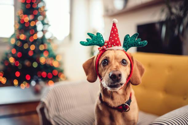 hund trägt geweih auf dem gelben sofa sitzen - geweih stock-fotos und bilder