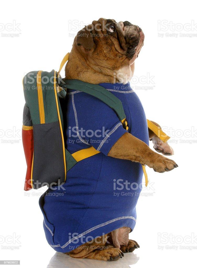dog wearing backpack royalty-free stock photo