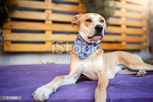 Mutt dog wearing bandana.