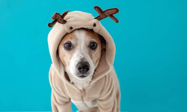 Dog wearing christmas deer costume stock photo