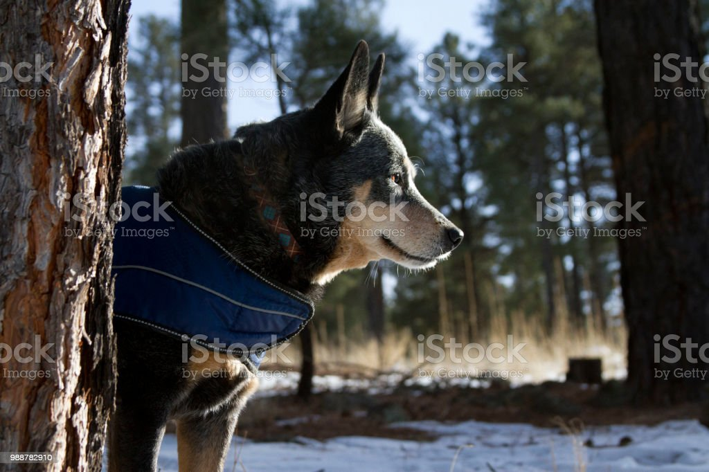 Dog wearing coat in snow stock photo