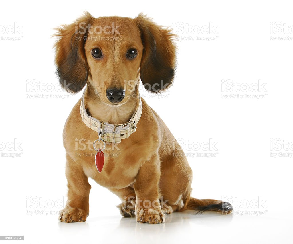 dog wearing collar and tag stock photo