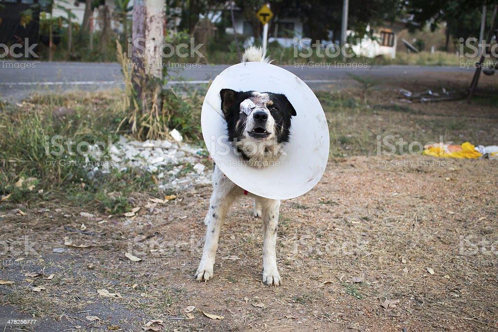 Dog wearing collar. Blind. Bandage. royalty-free stock photo