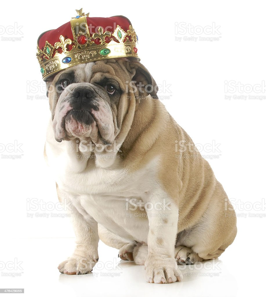 dog wearing crown stock photo